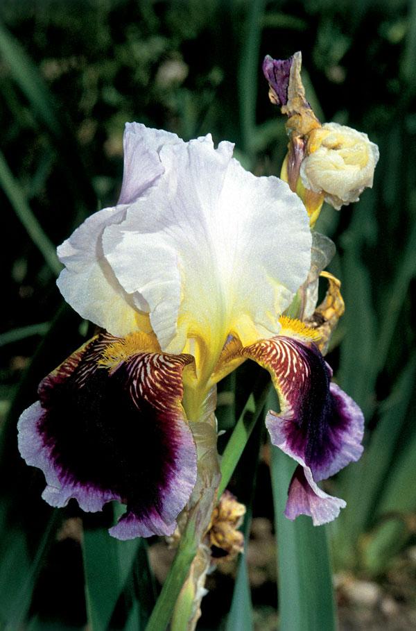 Kvet s menom bohyne dúhy