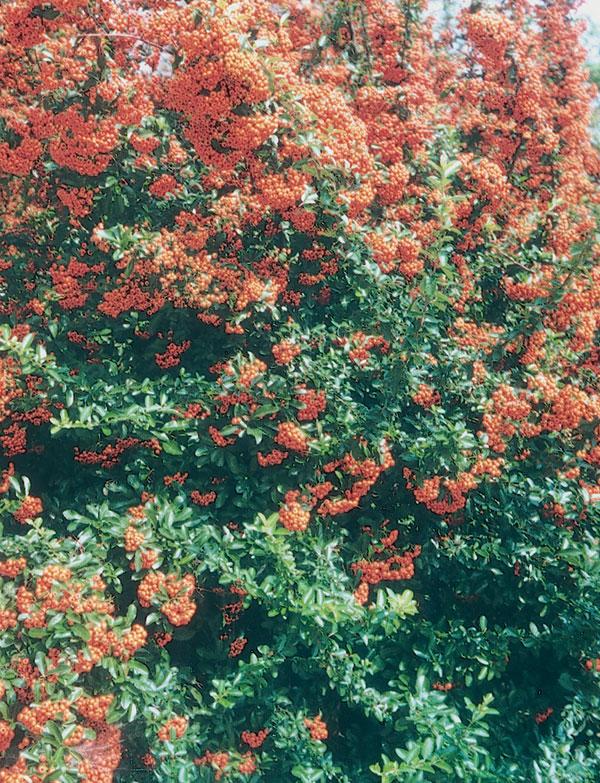 Dreviny v záhrade (2. časť - Kríky)