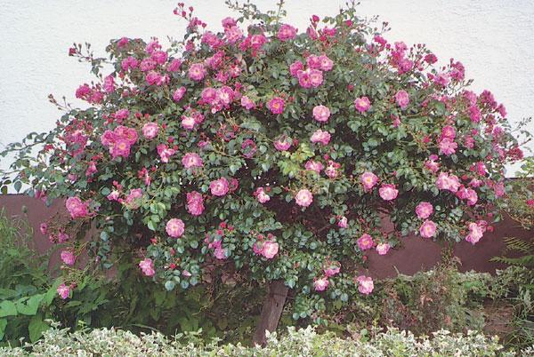 Dreviny v záhrade (3. časť – Ruže)