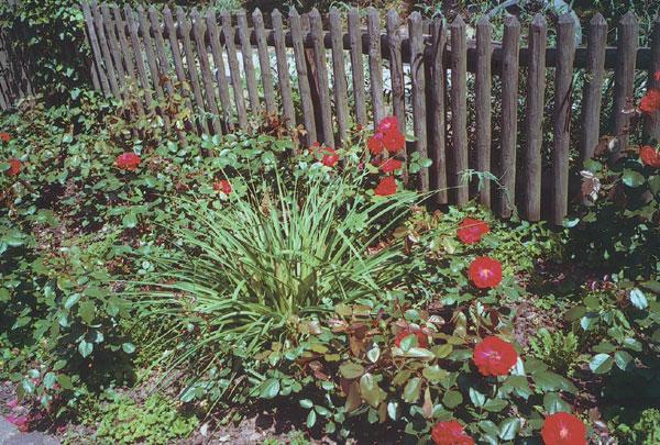 Dreviny v záhrade (3. časť - Ruže)