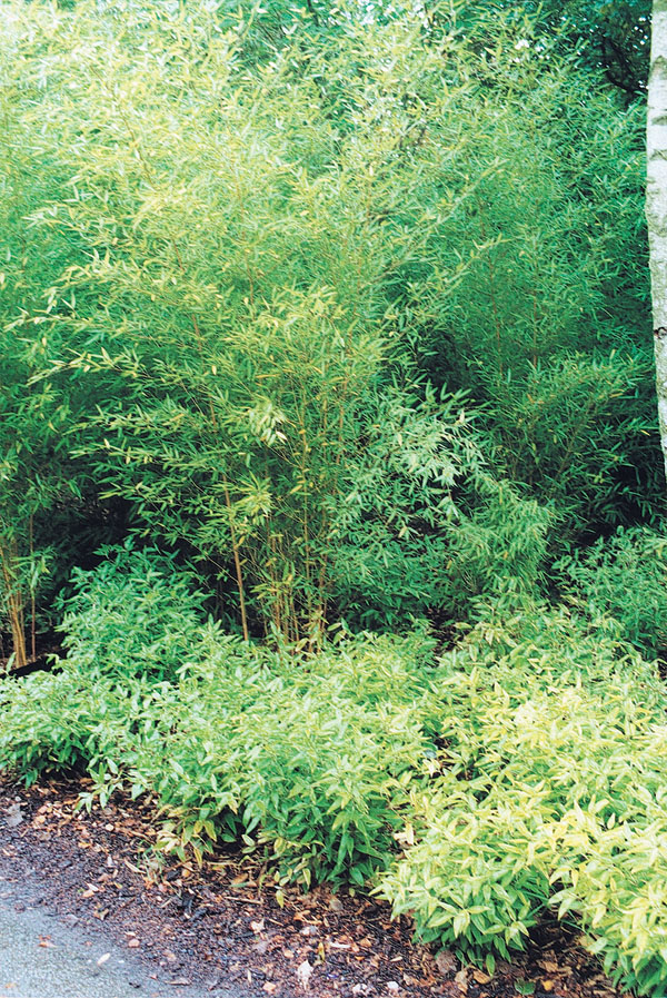 Bambus v záhrade