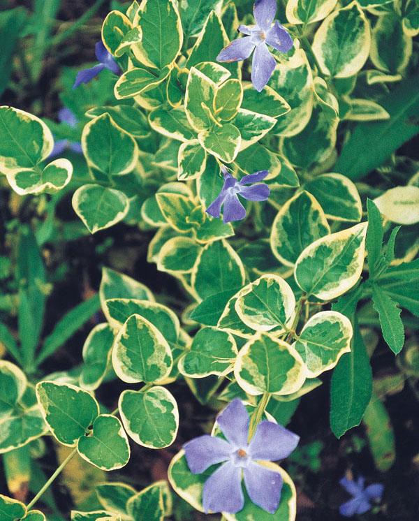 Pôdopokryvné rastliny: – riešenie pre každú záhradu