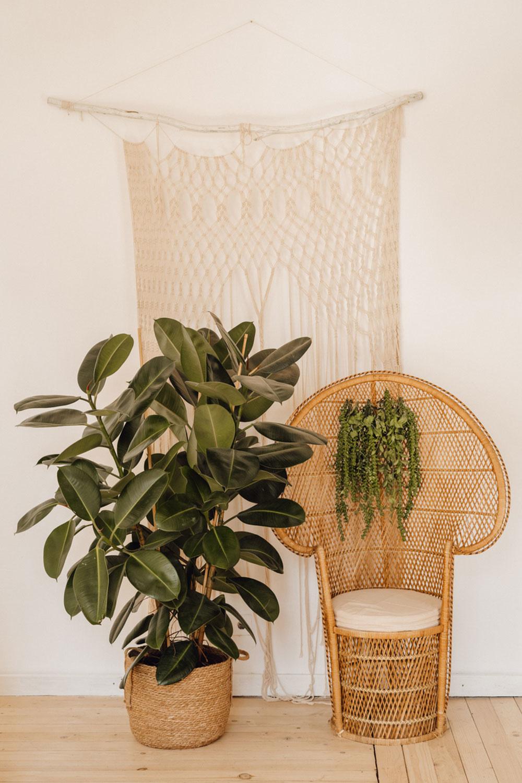 Ficus Elastica – figovník kaučukový