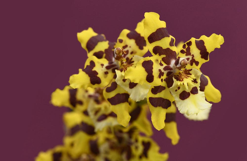 Phalaenopsis – lyšajovec