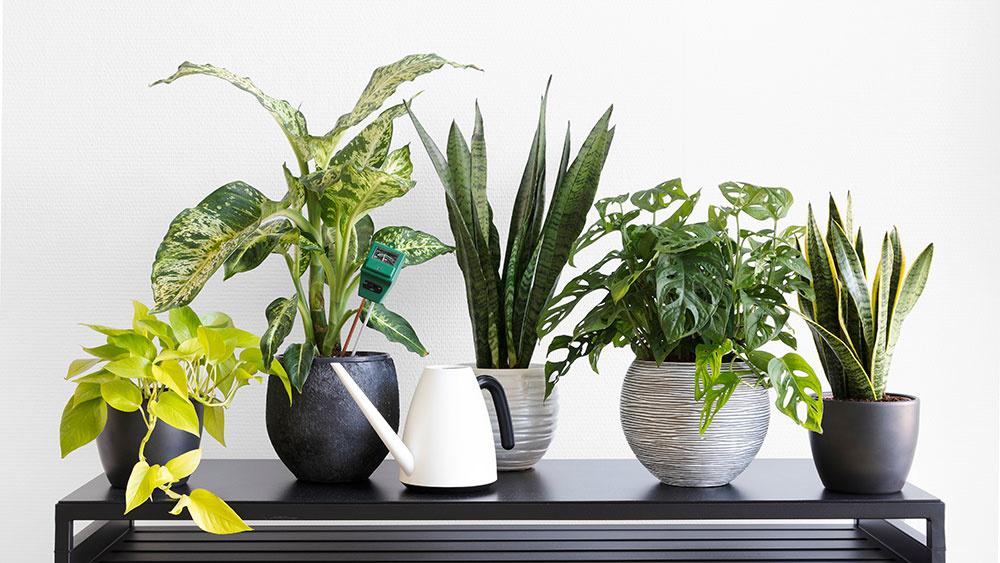 Dieffenbachia</em> v skupinke rastlín – druhá zľava