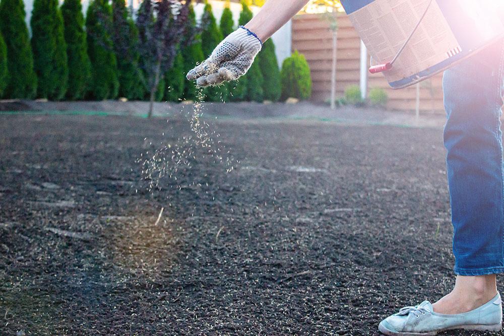 Pri zakladaní trávnika výsevom počítajte spotrebou asi 3 kg osiva na m2. Po vysiatí dbajte ojeho intenzívnu starostlivosť. Dostatočne trávnik zavlažujte aprihnojujte, najmä čerstvo vysiate plochy.
