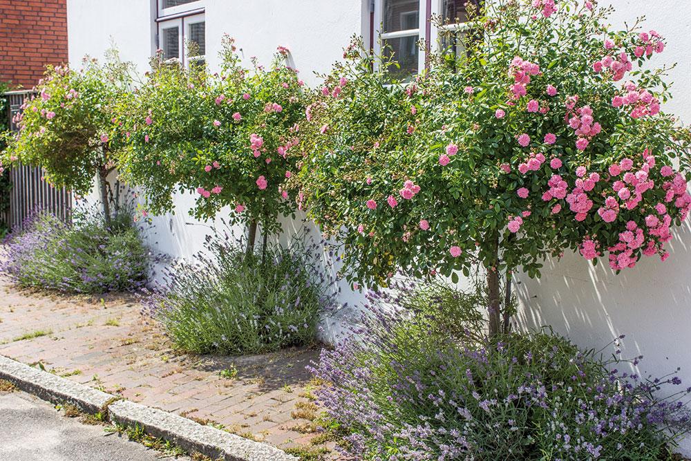 stromčekové ruže