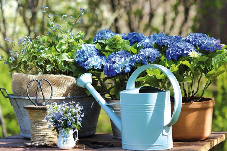 Ako pestovať hortenziu, aby vám neobschli puky