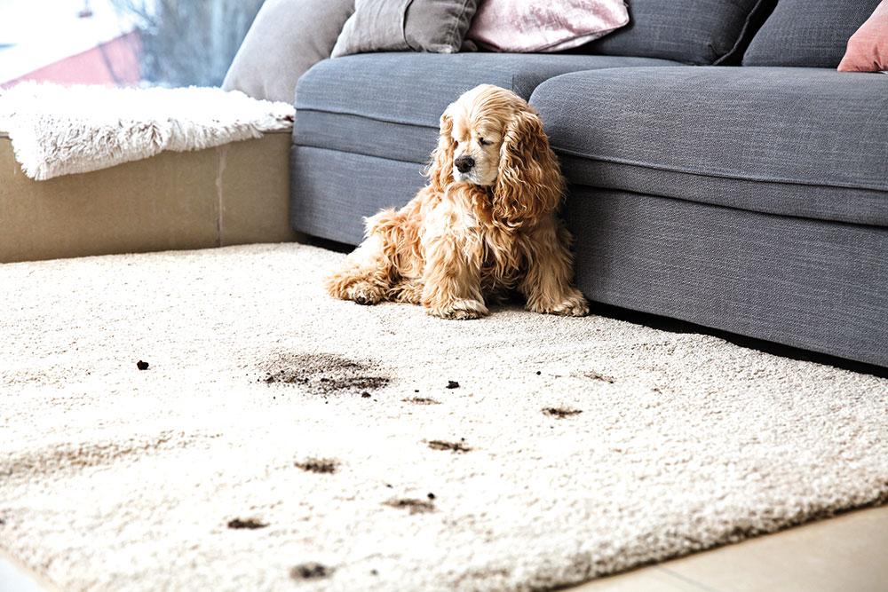 špinavý koberec od psa