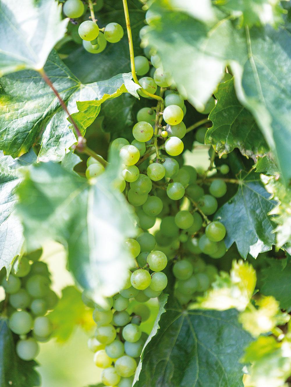 Vinič v záhrade