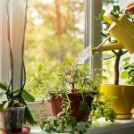 interiérové rastliny na parapete