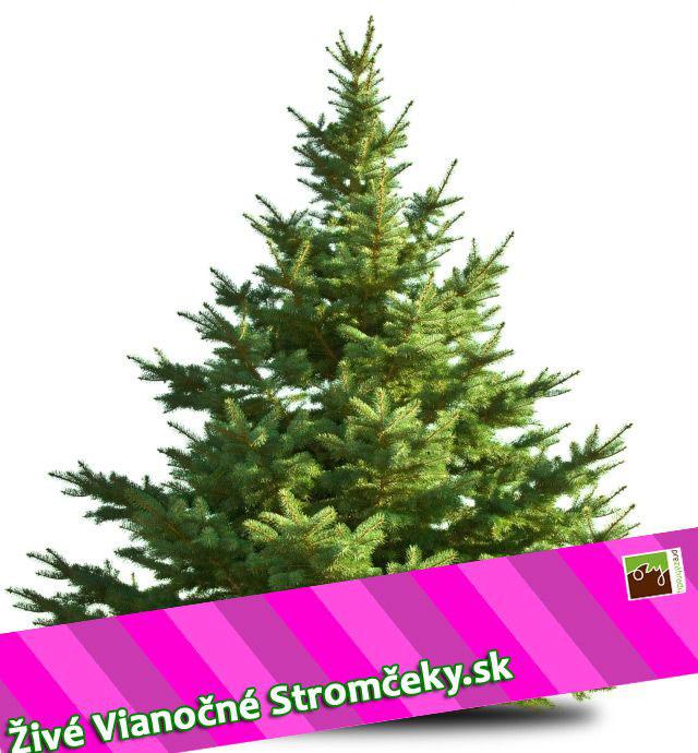 živý vianočný stromček rezaná jedlička