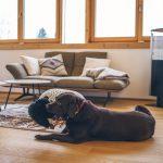 Pes v obývačke