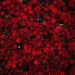 Tapeta so vzorom ruží
