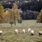 Ovce na lúke v okolí chatky