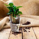 Kávovník (Coffea arabica)