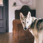 Pôvodný nábytok a pes