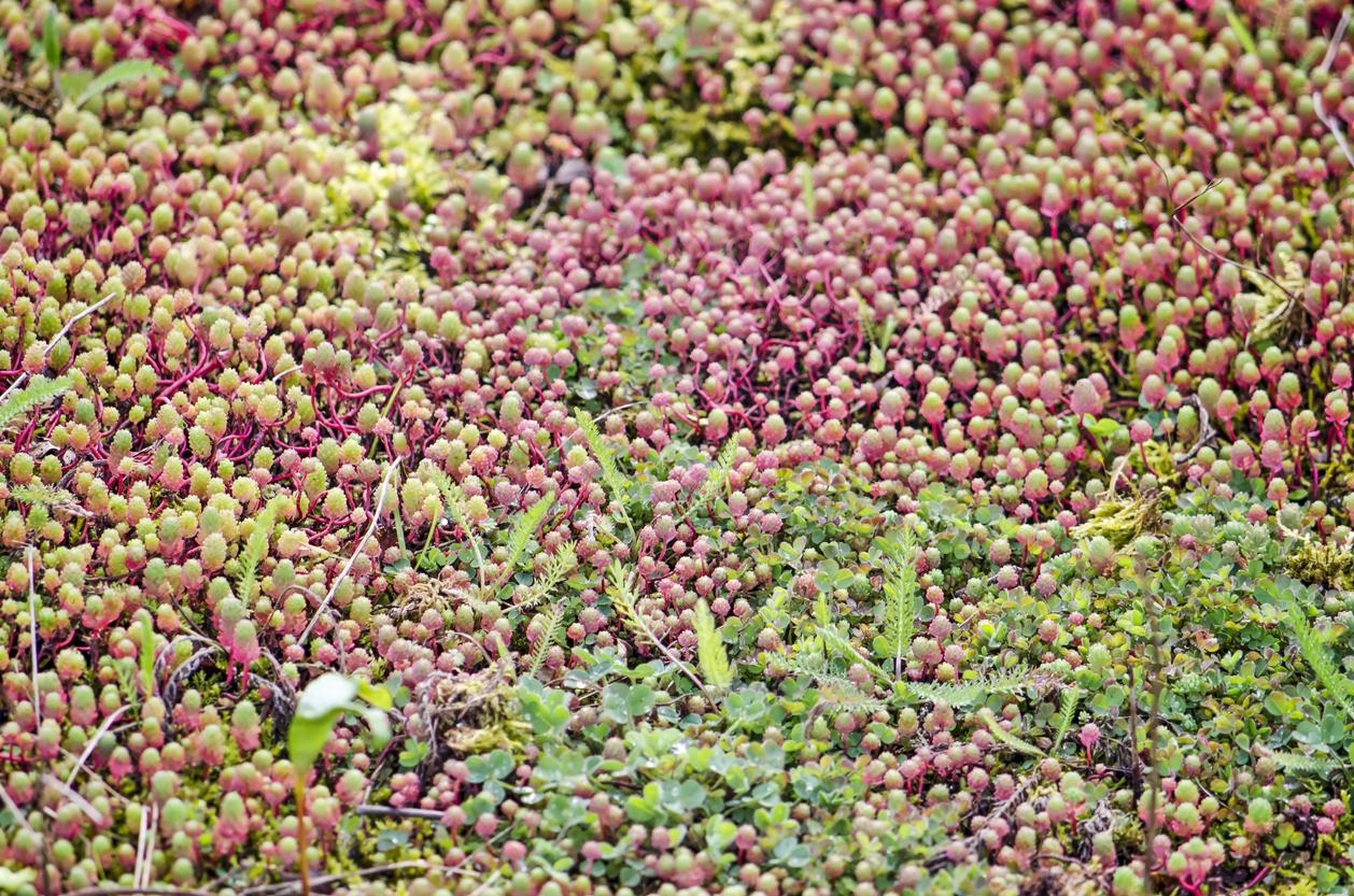 Sedum roof close-up