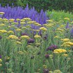 Rebríček a šalvia trs v záhrade