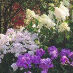 Veľký kvitnúci ker