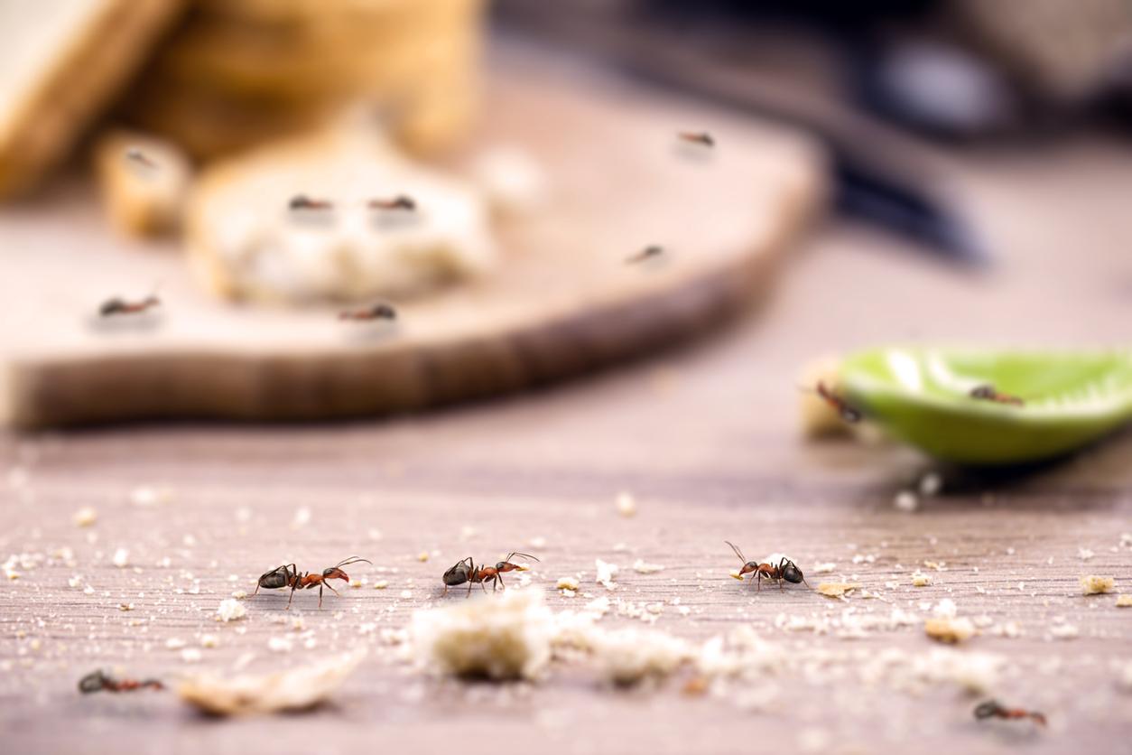 Mravce v kuchyni na jedle