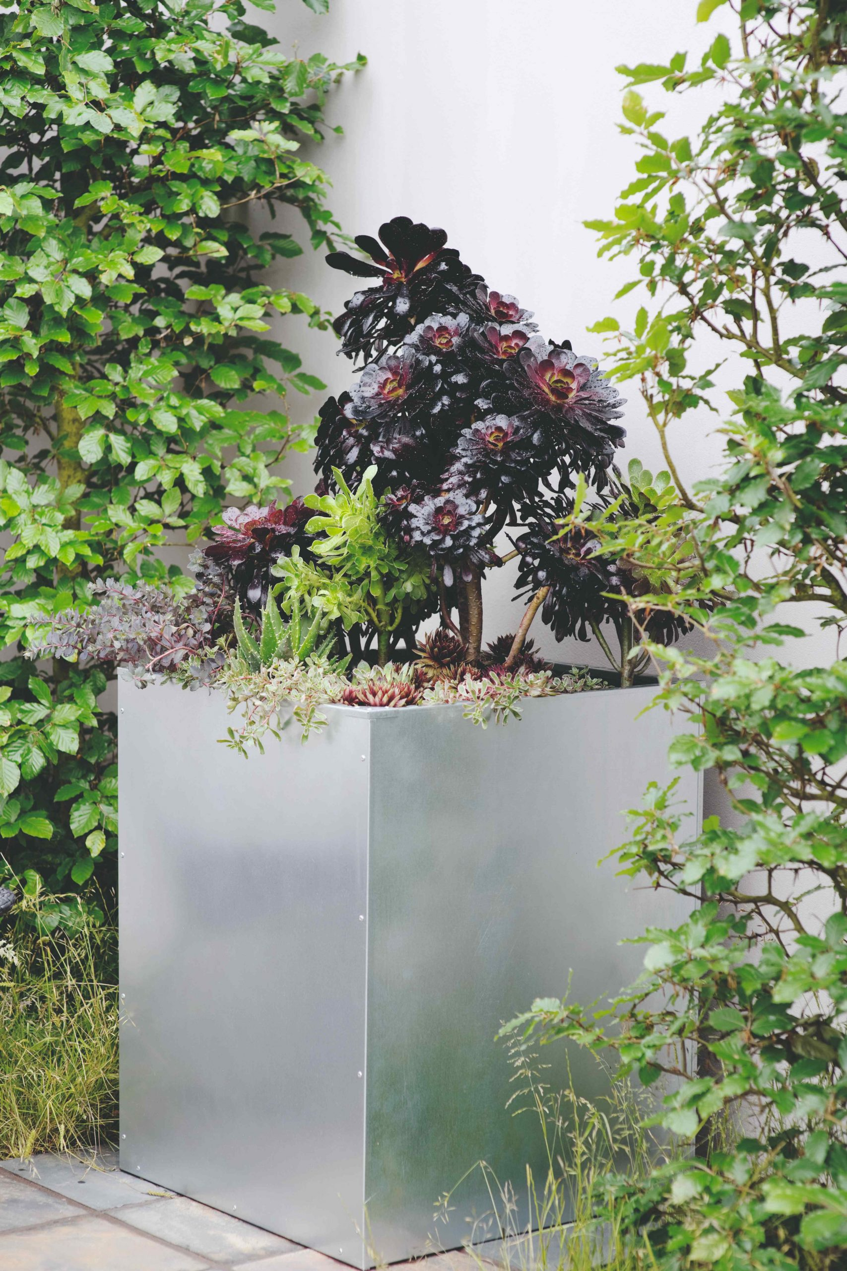 Eónium v hranatom kvetináči so zeleňou