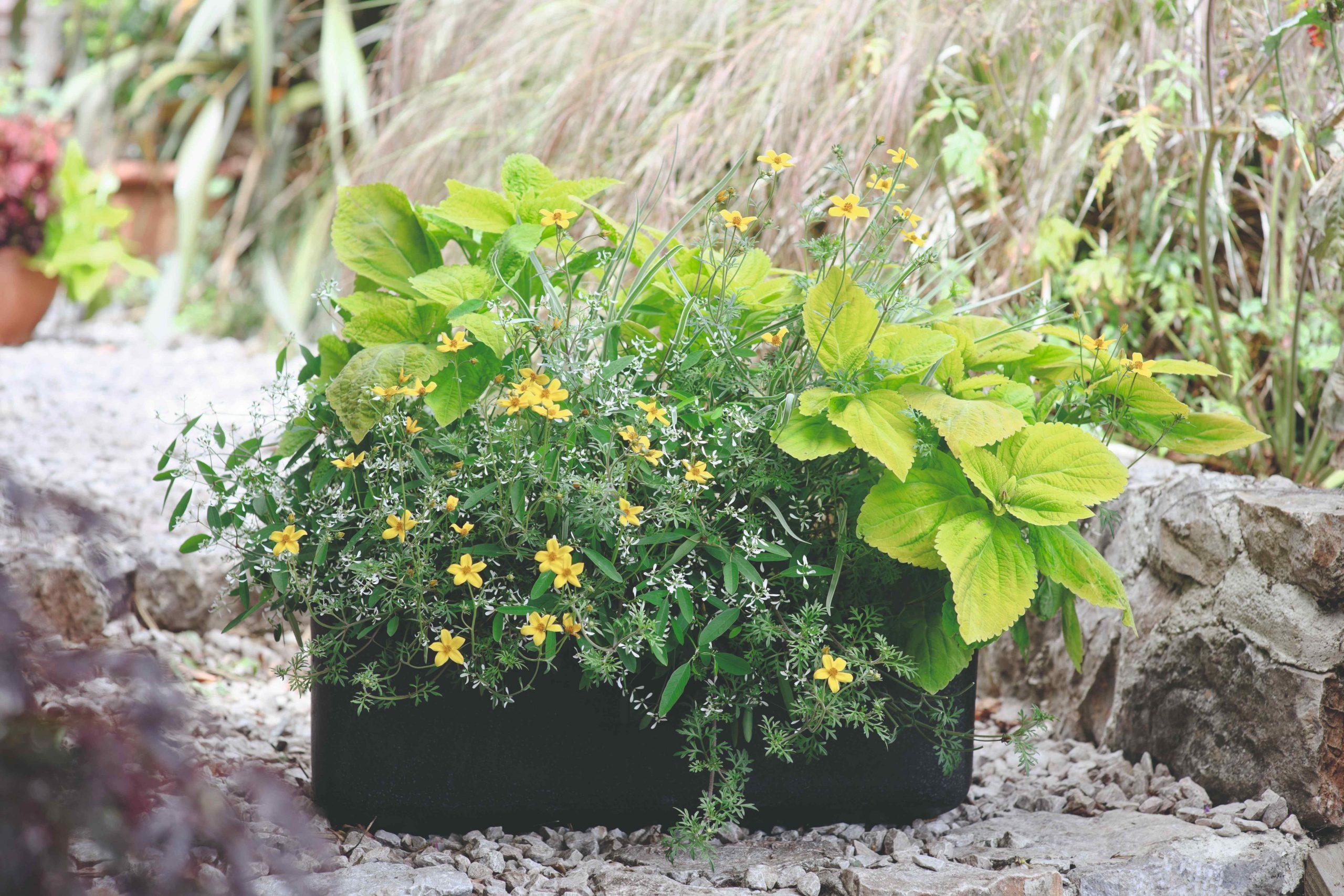 Kvetináč so žltými kvetmi a zeleňou