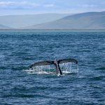 Potápajúca sa veľryba v mori