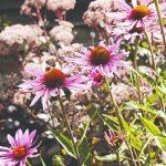 Echinacea v záhrade