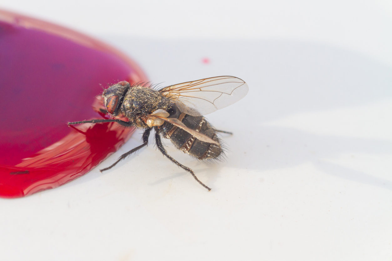 A fly eats berry spilled sweet jam