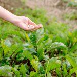 Ruka s hnojivom nad záhonom