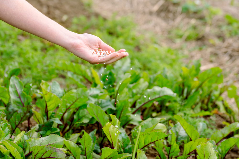 Farmer,Giving,Granulated,Fertilizer,To,Young,Plants.,Hand,Fertilize,Organic