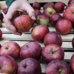 Jablká červené na trhu
