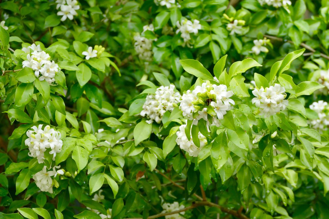Muraja metlinatá (Murraya paniculata)