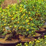 Kumquat krík