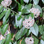 Hoja vosková (Hoya carnosa)