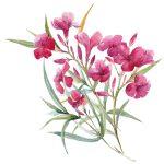 Oleander kresba