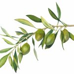 Olivová stonka kresba
