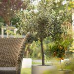 Stromy olivovníka v záhrade so sedením
