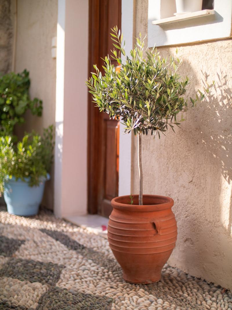 Olivový stromček v kvetináči