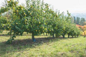 Dula, moruša a oskoruša: Menej známe stromy, ktoré v záhrade oceníte